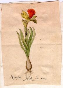 Clusius daffodil