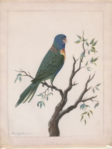 Moses Griffith, Rainbow lorikeet, 1772 (detail), gouache on vellum