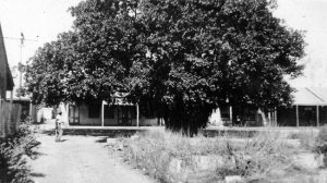 The 'Tree of Knowledge', an ancient banyan, pictured in 1930s Darwin. It can be seen today outside the city council building.
