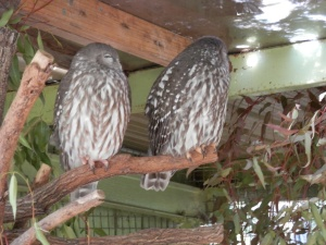 Barking owl, also known as the barking boobook or winking owl