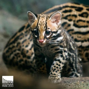 Three-month-old ocelot kitten Evita