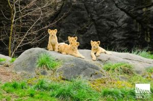 Woodland Park Zoo - Lion cubs