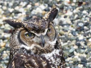 Owl with an attitude at Alaska Raptor Rehabilitation Center