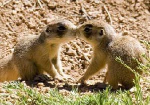 Bryce Canyon prairie dogs
