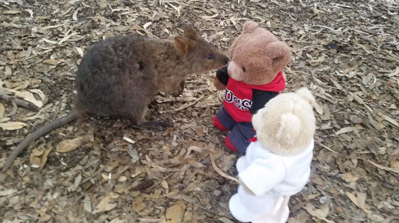 Playtime With Quokkas